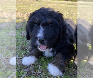 Bernedoodle Litter for sale in GENTRY, AR, USA