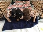 English Bulldog Puppy For Sale in STAFFORD, VA, USA