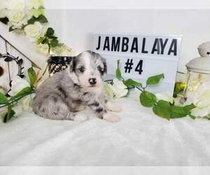 Aussiedoodle Miniature  Litter for sale in COLLEGE STA, TX, USA