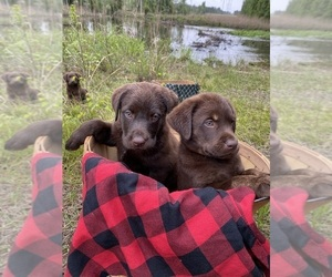 Labrador Retriever Litter for sale in EASTMAN, GA, USA