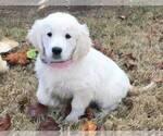English Cream Golden Retriever Puppy For Sale in FRISCO, TX, USA