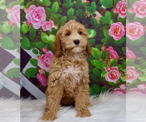 Goldendoodle Litter for sale in WARSAW, IN, USA