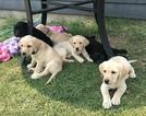 Labrador Retriever Puppy For Sale in LADERA RANCH, CA, USA