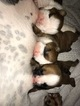 English Bulldog Puppy For Sale in OWASSO, OK, USA