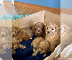 Cavapoo Litter for sale in NAPPANEE, IN, USA