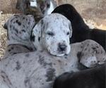 Great Dane Puppy For Sale in BUCHANAN, GA, USA