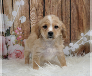 Cavachon Litter for sale in WARSAW, IN, USA
