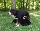 Bernese Mountain Dog Puppy For Sale in LOVELAND, OH, USA
