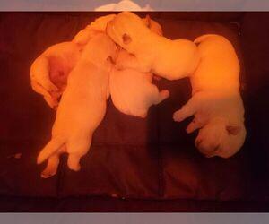 West Highland White Terrier Litter for sale in MOUNTAINBURG, AR, USA