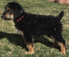 Airedoodle Litter for sale in SAINT GEORGE, UT, USA