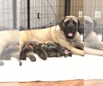Mastiff Puppy For Sale in HOLLANDALE, MN, USA
