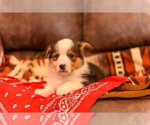 Pembroke Welsh Corgi Litter for sale in NEWVILLE, PA, USA