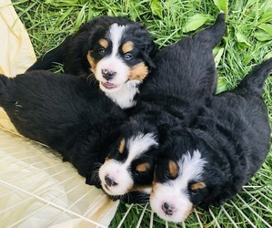 Bernese Mountain Dog Litter for sale in CERES, VA, USA