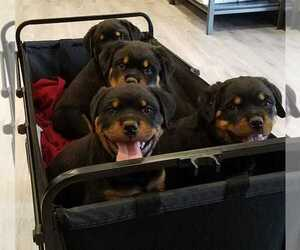 Rottweiler Litter for sale in LYONS, OR, USA