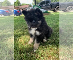 Pomsky Litter for sale in WHEELERSBURG, OH, USA