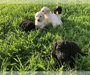 Poodle (Standard) Litter for sale in HOPKINSVILLE, KY, USA