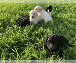 Poodle (Standard) Puppy For Sale in HOPKINSVILLE, KY, USA