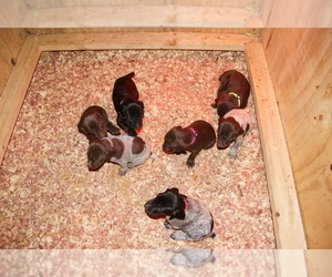 German Shorthaired Pointer Litter for sale in SCIO, OH, USA
