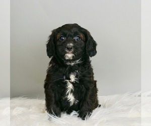 Cavapoo Litter for sale in WARSAW, IN, USA