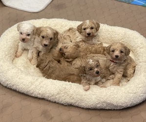 Goldendoodle-Poodle (Miniature) Mix Litter for sale in BEECH GROVE, IN, USA