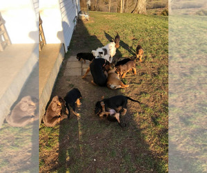 Bloodhound Litter for sale in HARRODSBURG, KY, USA