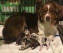 Australian Shepherd Puppy For Sale in LOUISVILLE, KY, USA