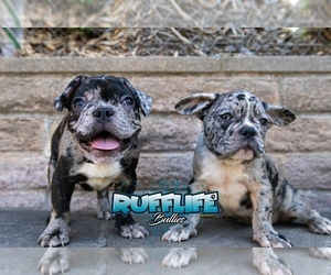 French Bulldog Litter for sale in ESCONDIDO, CA, USA