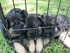 German Shepherd Dog Puppy For Sale in COLUMBIA, SC, USA