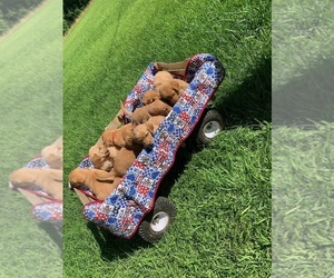 Medium Goldendoodle-Labrador Retriever Mix