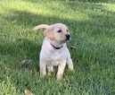 Labrador Retriever Puppy For Sale in JOHNSON CREEK, WI, USA