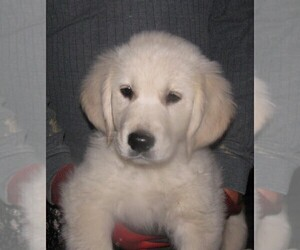 Golden Retriever Litter for sale in BLOUNTVILLE, TN, USA