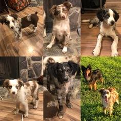 Miniature Australian Shepherd Puppy For Sale in OWENSBORO, KY, USA