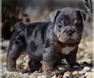 Olde English Bulldogge Litter for sale in EUSTIS, FL, USA