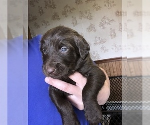 Labradoodle Litter for sale in MIFFLINBURG, PA, USA