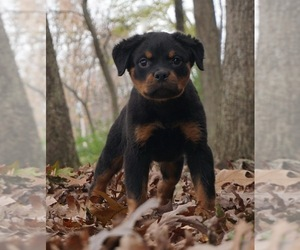 Rottweiler Litter for sale in WARSAW, IN, USA