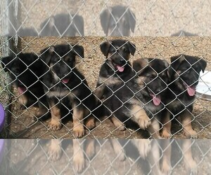 German Shepherd Dog Litter for sale in FAIRDALE, KY, USA