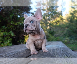 French Bulldog Litter for sale in PACIFIC CITY, OR, USA