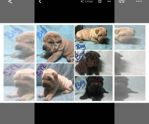 Chinese Shar-Pei Litter for sale in BOGER CITY, NC, USA
