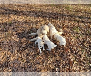 Goldendoodle Litter for sale in ATHENS, GA, USA