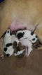 French Bulldog Puppy For Sale in DITTMER, MO, USA