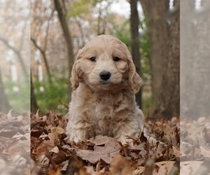 Goldendoodle-Poodle (Toy) Mix Litter for sale in WARSAW, IN, USA