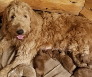 Goldendoodle Litter for sale in TREMONT, IL, USA