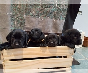 Labrador Retriever Litter for sale in READING, PA, USA