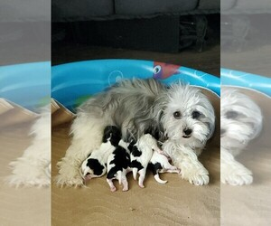 Mi-Ki-Poodle (Toy) Mix Litter for sale in BLAND, MO, USA