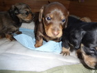 Dachshund Puppy For Sale in MILWAUKEE, WI, USA