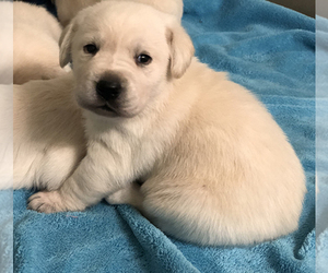 Labrador Retriever Litter for sale in SENECA, KS, USA