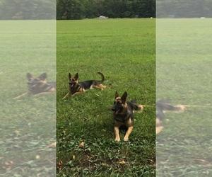German Shepherd Dog Litter for sale in RICHMOND, IN, USA