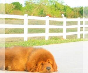 Tibetan Mastiff Litter for sale in PLEASANTON, TX, USA