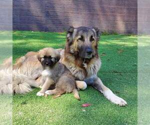 Caucasian Shepherd Dog Litter for sale in MONTEBELLO, CA, USA