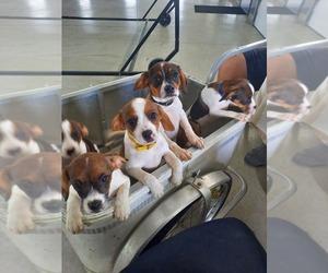 Cavalier King Charles Spaniel-Rat Terrier Mix Litter for sale in SHIPSHEWANA, IN, USA